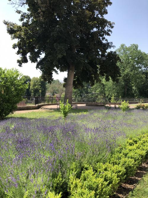 Levandulová zahrada